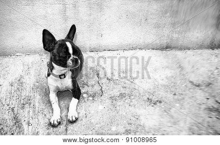 Dog. Boston Terrier