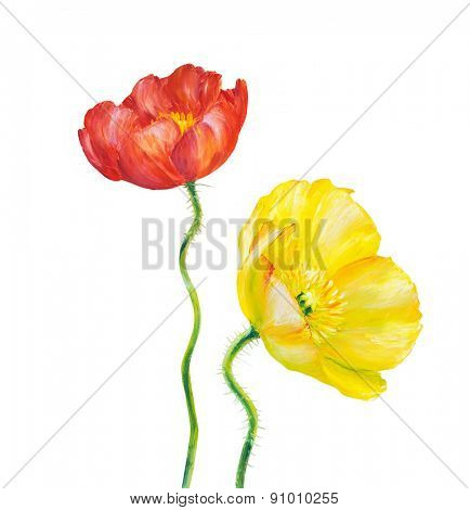 Yellow and Red Poppy isolated on white, oil painting
