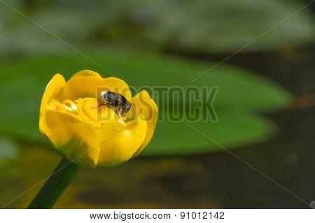 Yellow water lily with bee in nature water