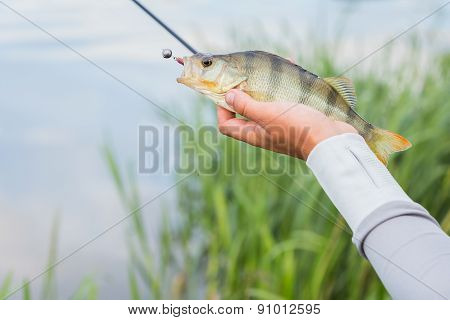 Fisherman holding a large perch.Man fisherman catches a fish