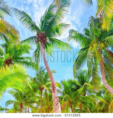 Fresh green palm trees, beautiful big palm leaves on blue sky background, exotic beach resort, beauty of tropical nature, summer travel and vacation concept