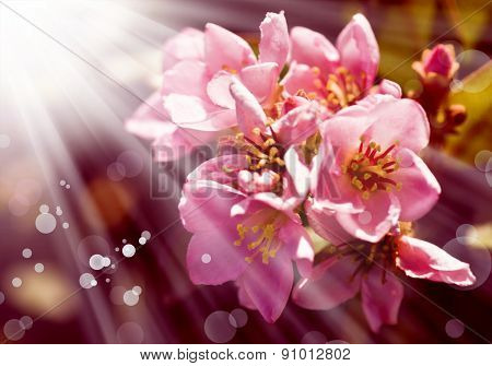 pink spring tree flowers, Cherry blossoms