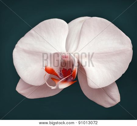 White orchid on a dark background