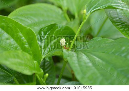 Wild betel