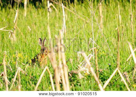 Wild rabbit in nature