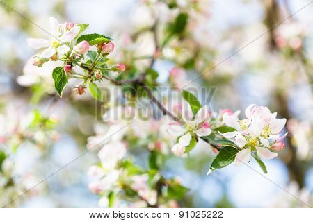 White And Pink Apple Tree Blossom Close Up
