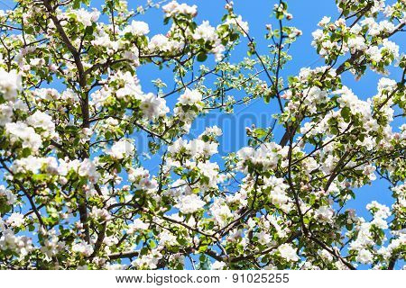 White And Pink Blossoming Apple Tree