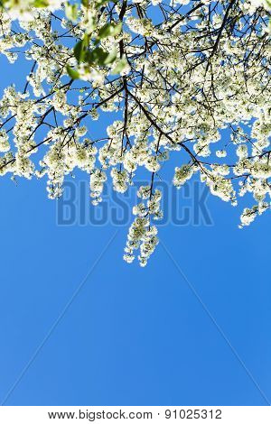 Branches Of Blossoming Cherry Tree With Blue Sky