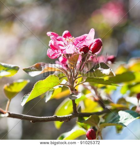 Pink Flower On Blossoming Apple Tree Close Up