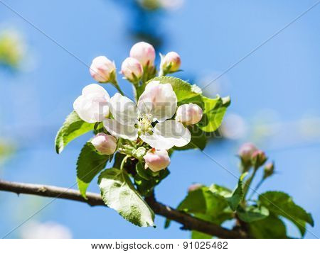 Flower On Blossoming Apple Tree Close Up In Spring
