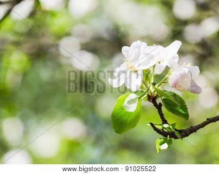 Flower On Flowering Apple Tree In Green Forest