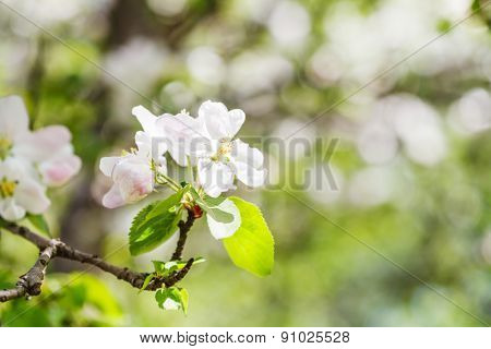 Bloom On Flowering Apple Tree In Green Forest