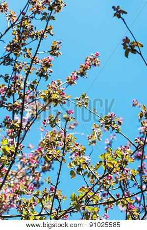 Twigs Of Pink Blossoming Apple Tree In Spring