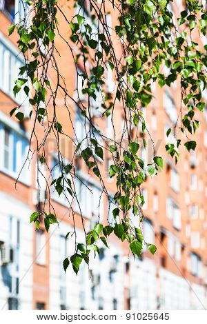 Branch Of Green Birch Tree And Urban House