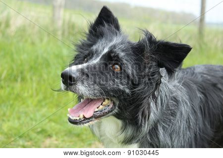 Collie close-up