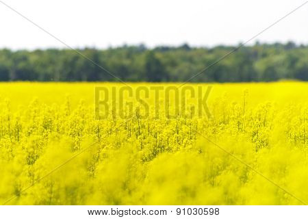 Field Of Oilseed Rape With Forest And Sky