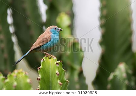 Blue Waxbill (uraeginthus Angolensis) Perched On A Cactus