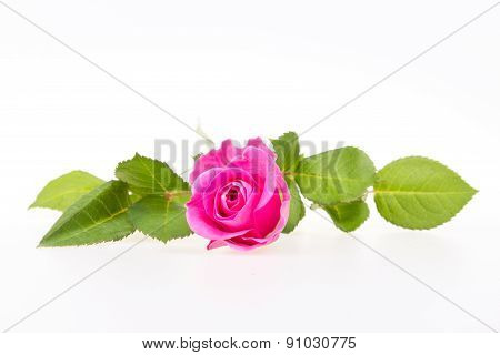 Isolated pink rose