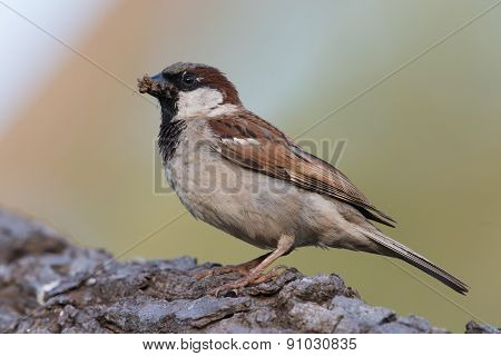 House Sparrow (passer Domesticus) Gathering Termites For Its Chicks