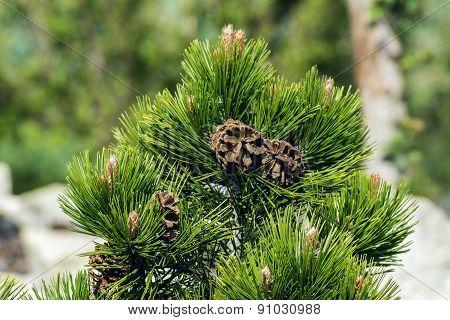 Beautiful Brown Cones On Evergreen Tree