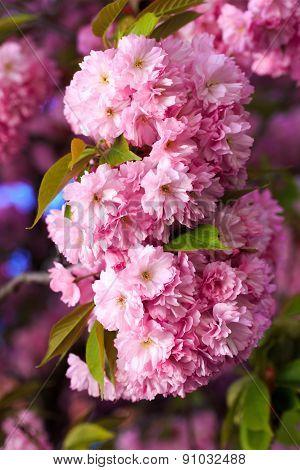 Pink Sakura Flower Blooming, in a sunny spring day