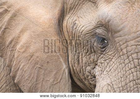 Elephant Head And Eye Close-up Detail