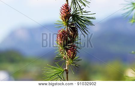 Branch With Cones. Larix Leptolepis, Ovulate Cones Of Larch Tree, Spring