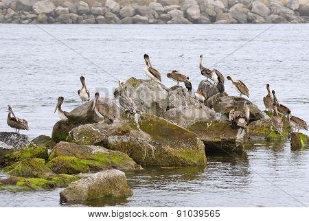 Brow Pelican