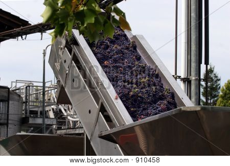 Grapes On A Conveyor Belt
