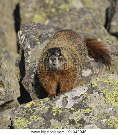 marmot approaches