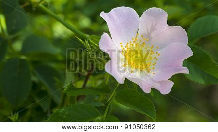 Pink Multiflora Wild Rose with Yellow Stamen. Pink Wild Rose.