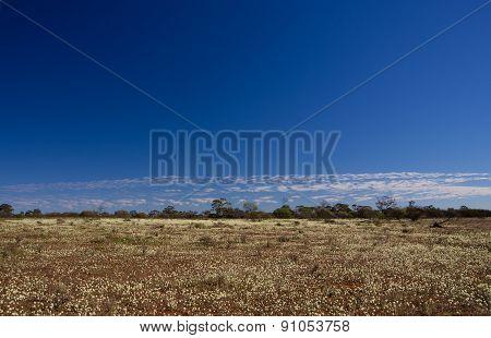 white wildflowers in Western Australia