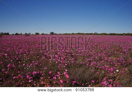 pink wildflowers in Western Australia