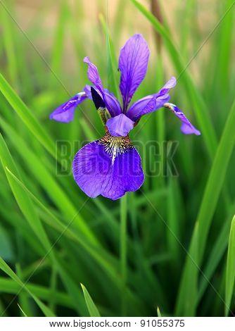 Siberian Iris , Iris Sibirica Blossoming In A Garden
