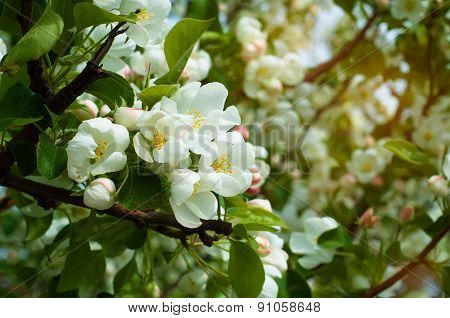 Blossoming Of Apple Flowers In Spring Time With Green Leaves