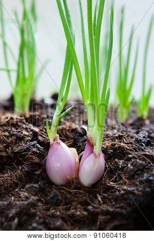 Close Up  Cultivated Organically Grown Red Onions, Red Baron Planting In Home Garden Field