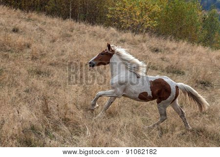 hurrying wild horse on autumn field
