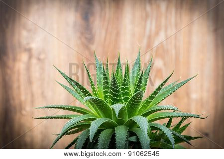 Aloe on wooden background