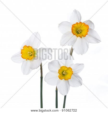 Three Narcissus In Colorful Vases On A White Background.