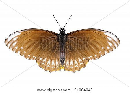 Isolated Female Common Mime Butterfly