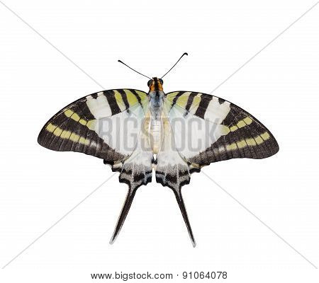 Isolated Top View Of Five Bar Swordtail Butterfly