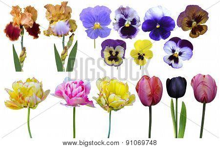 Tulips Irises Pansies