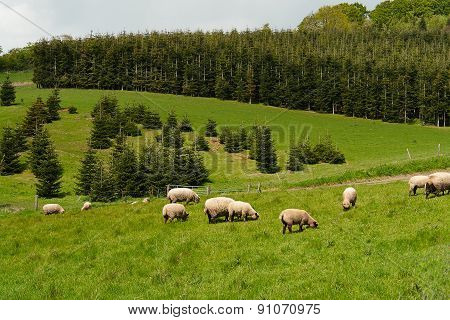 Sheep Grazing In A Beautiful Landscape