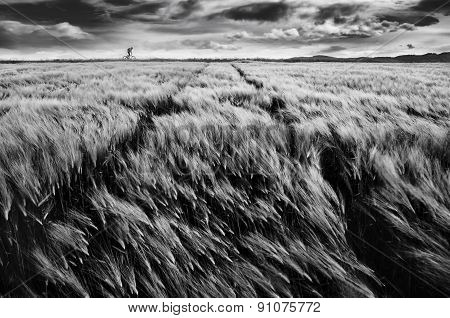 Biker and the wheat field and dramaticaly sky