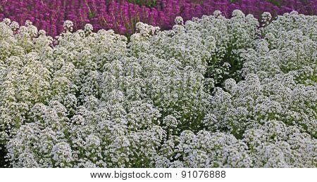 White Flowers Of Alyssum Maritimum