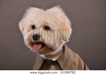 Maltese Dog Portrait