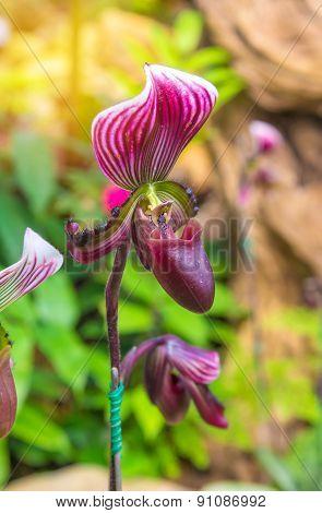 Lady's Slipper Orchid (paphiopedilum Callosum)