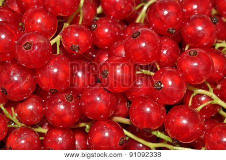 Fresh Redcurrant Close Up As