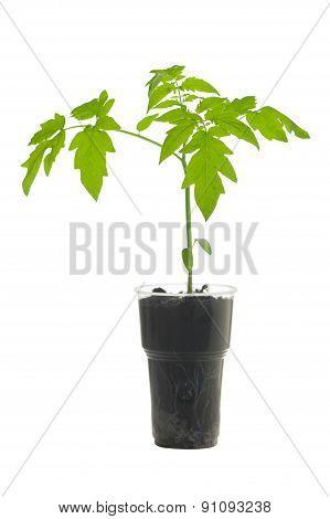 Seedlings Of Tomato