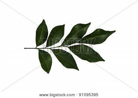 Murraya Paniculata Jack Leaf